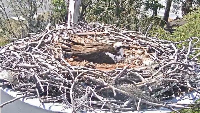 Achieva Osprey Live Cam From St. Petersburg Florida